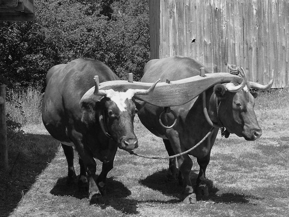 Yoken Oxen